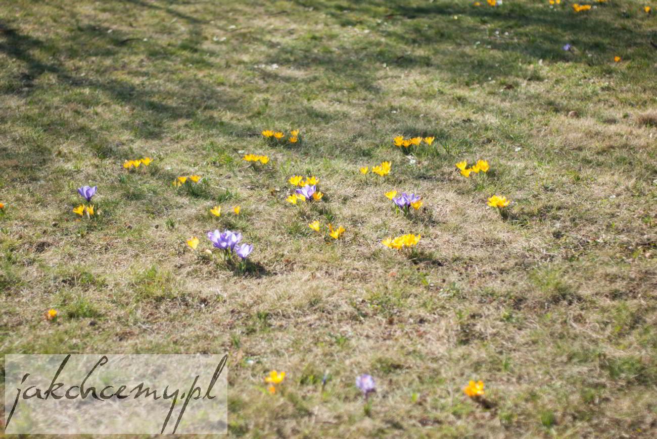 kwiatki na trawniku