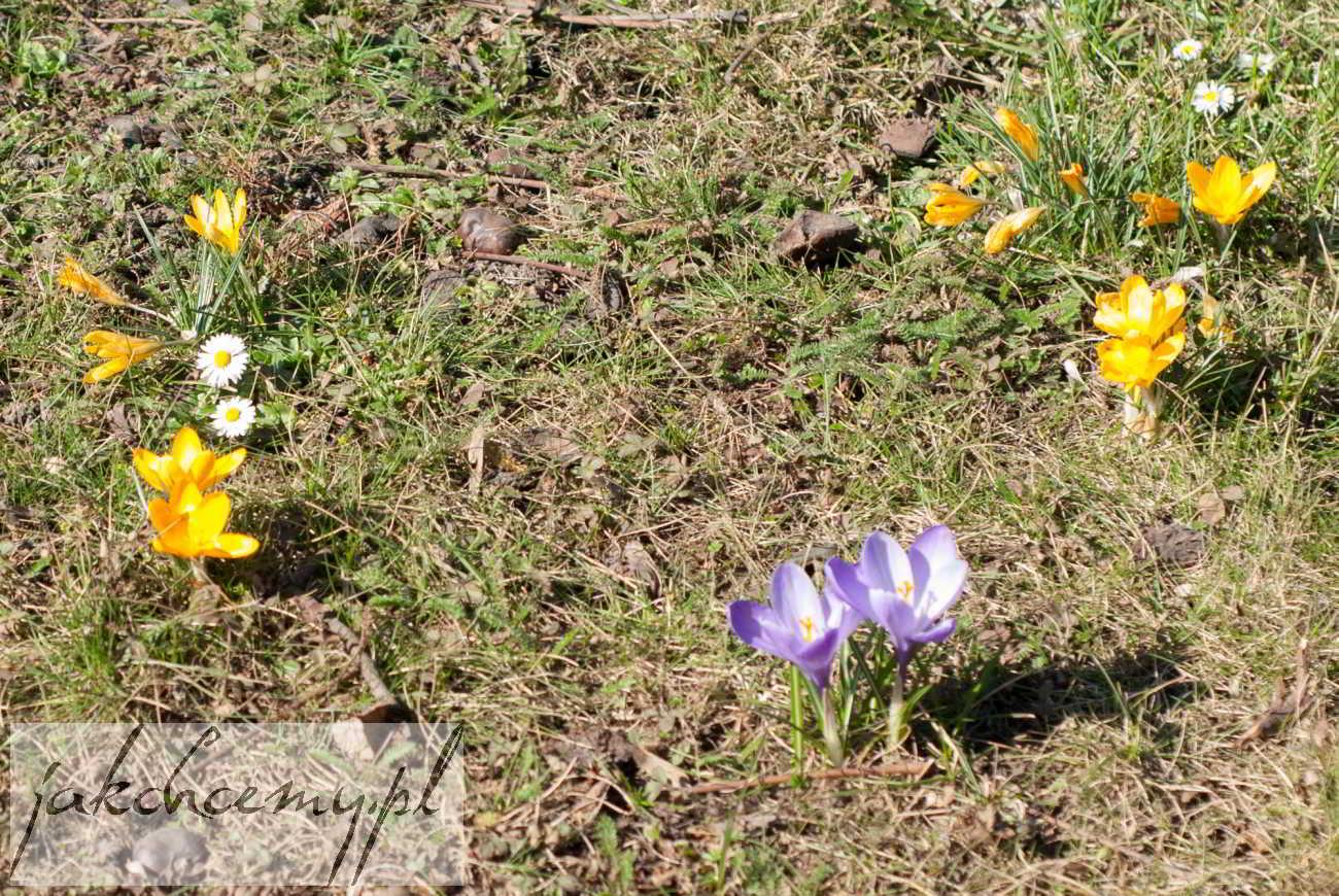 kwiatki trwanikowe