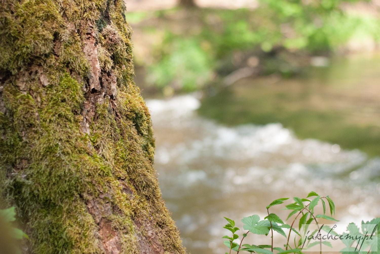 Drzewo nad Tanwią
