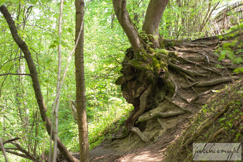 Tanew Szumy drzewo jak profil twarzy
