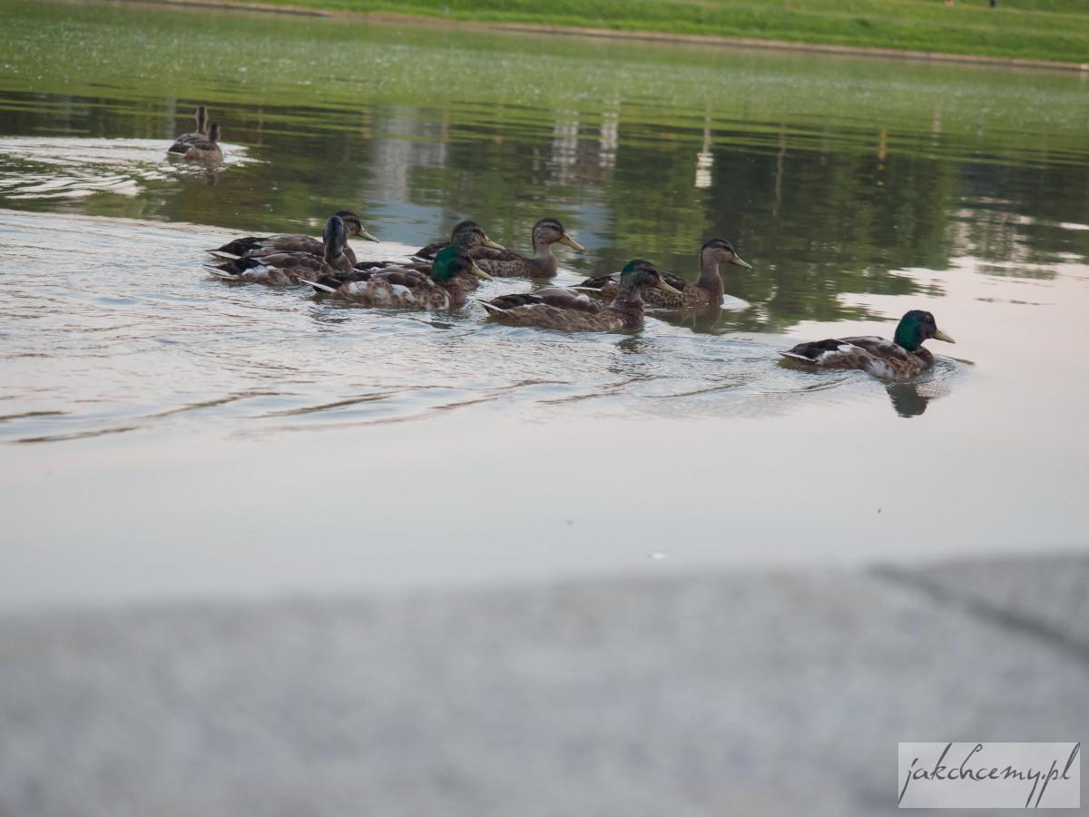 Pomimo zakazu kaczki w wodzie