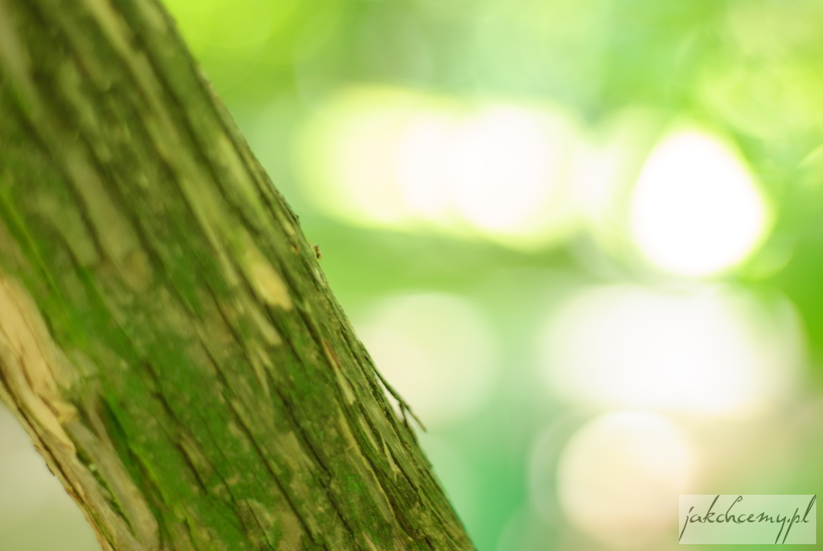 mrówka i kora