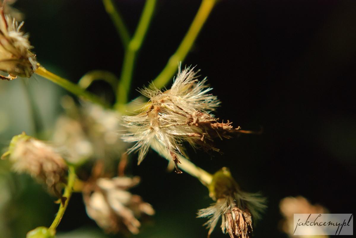 Kwiatek jak bawełna