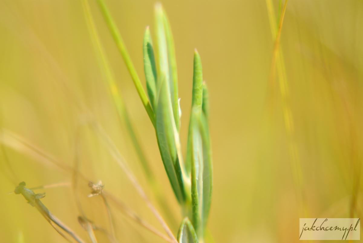 Obary roślinka z podłużnymi listkami