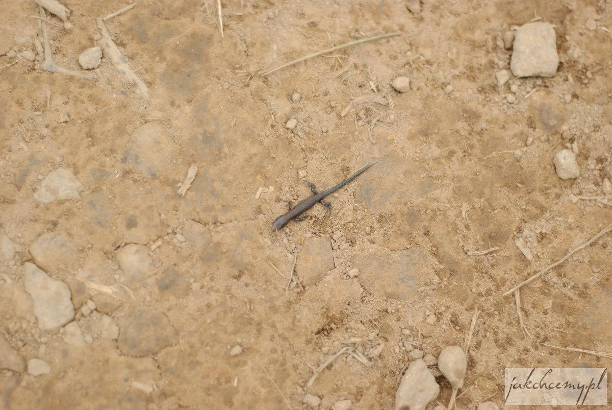 Jaszczurka malutka