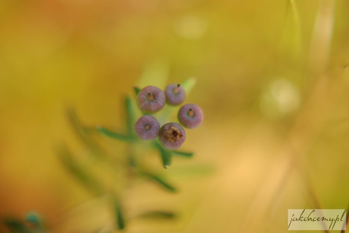 Obary roślinki owoce