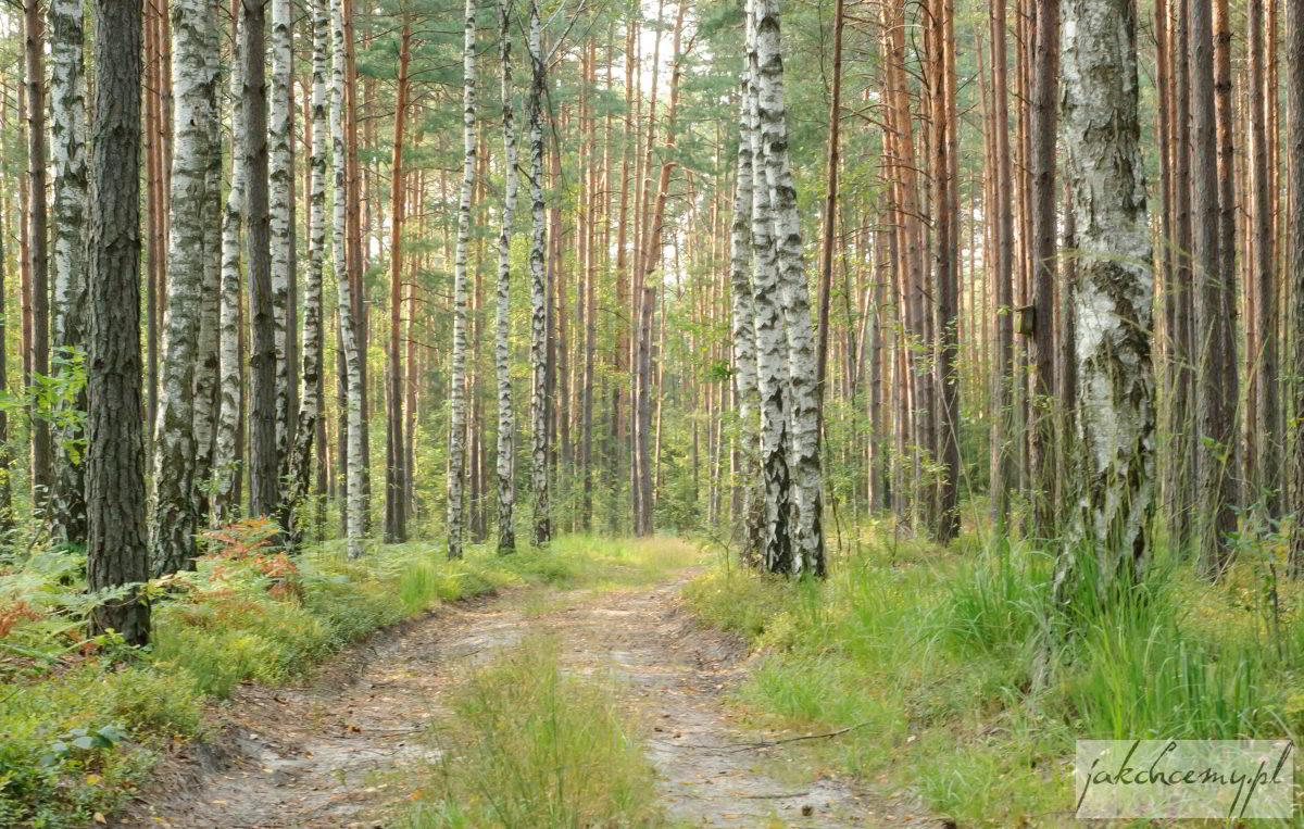 Droga leśna brzozy