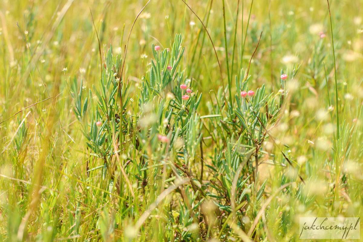 Obary roślinka kwiaty
