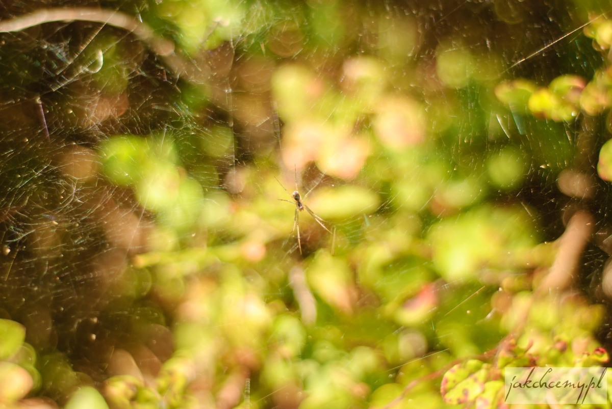Obary pająk pajęczyna