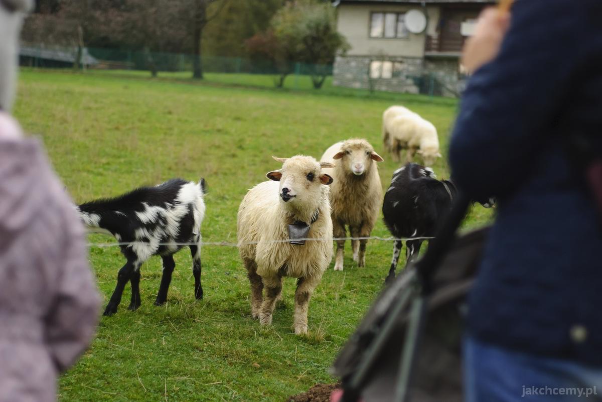 spacer kozy i owce