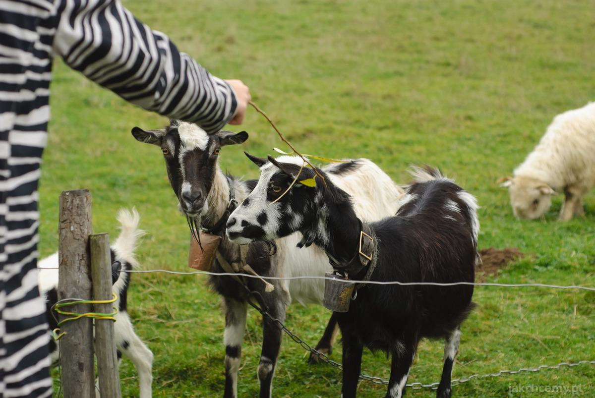 spacer kozy i owce 2