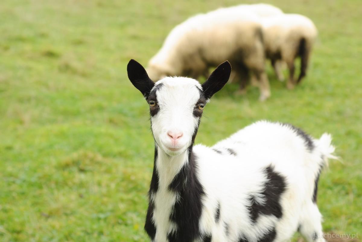 spacer kozy i owce 3