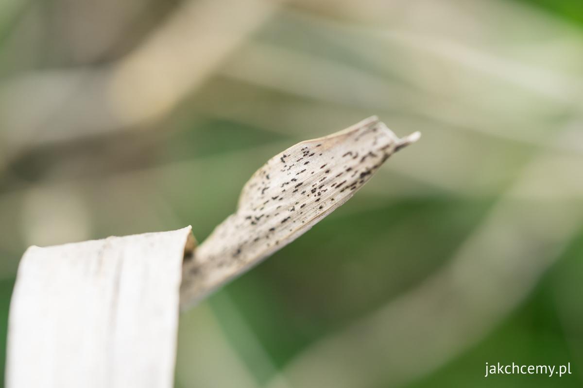 Spacerowa majówka z7 listek suchy