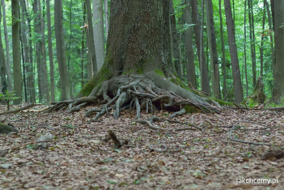 Bukowa Góra korzenie drzew