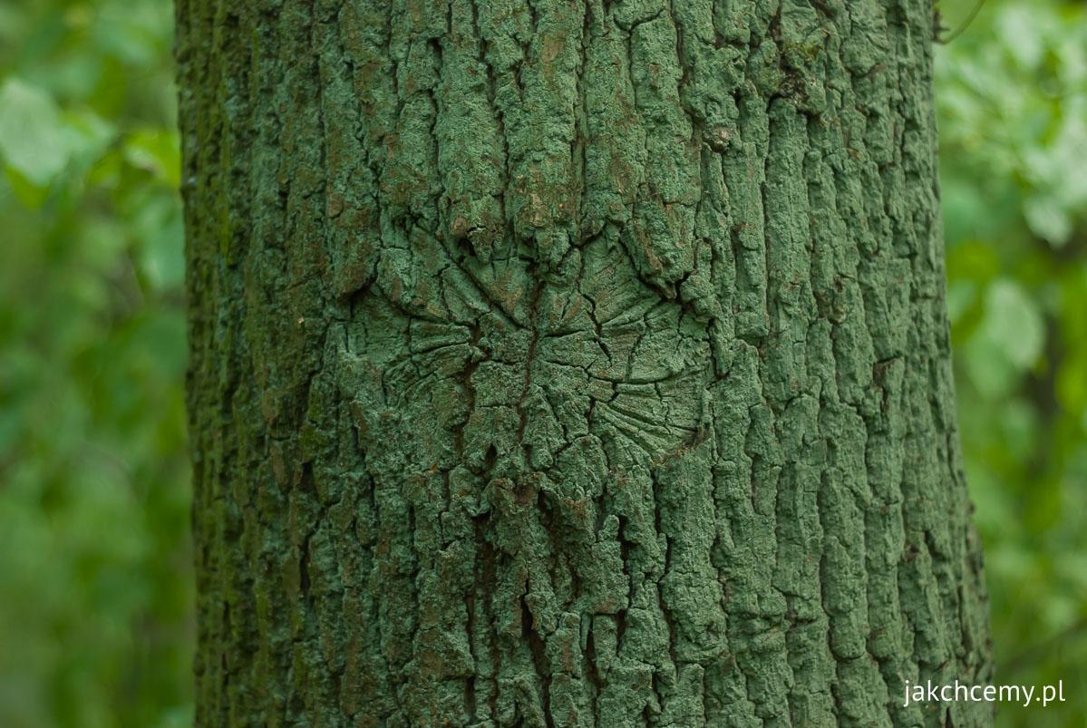 Drzewo wzór na korze Poznań